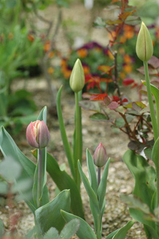 tulip2012416-2.jpg