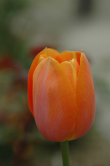 tulip2012419b.jpg