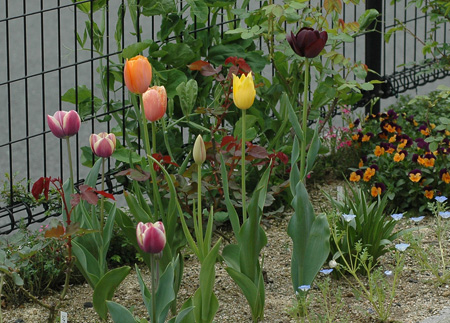 tulip2012419j.jpg