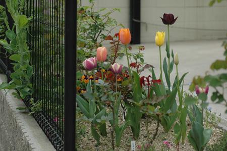 tulip2012419k.jpg