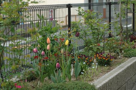 tulip2012419l.jpg