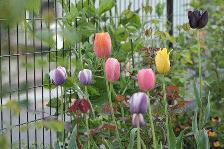 tulip2012424-1.jpg