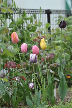 tulip2012426-1.jpg