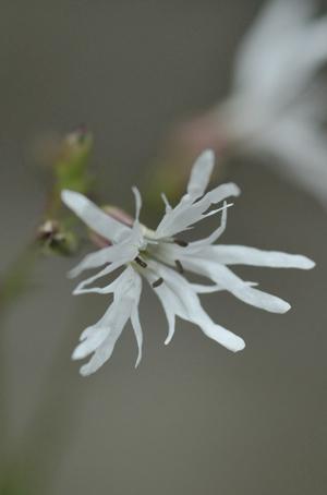 whiterobin2012430-1.jpg