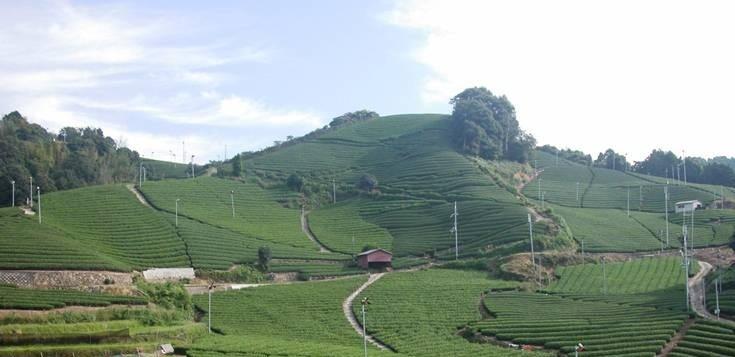 茶畑_1~1