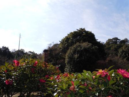山茶花(2011.02.20撮影)
