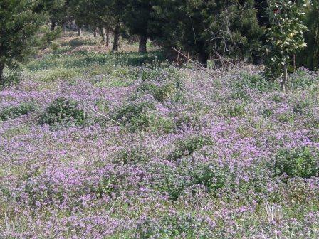紫の絨毯(2011.02.26撮影:出水にて)