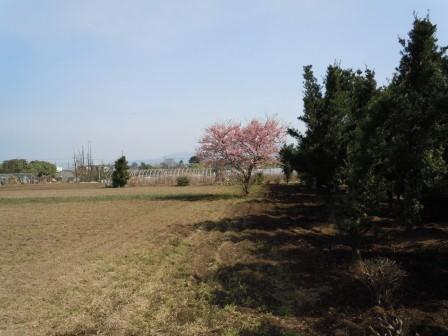 早咲きの桜(2011.02.26撮影:出水にて)