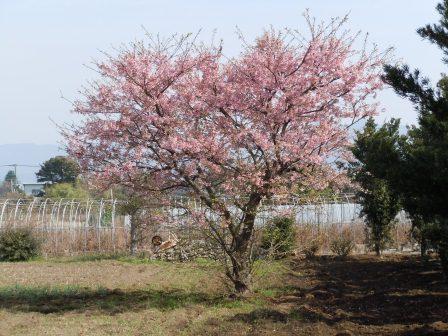 桜1(2011.02.26撮影:出水にて)
