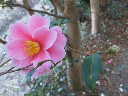 山茶花(2011.02.26撮影:出水にて)