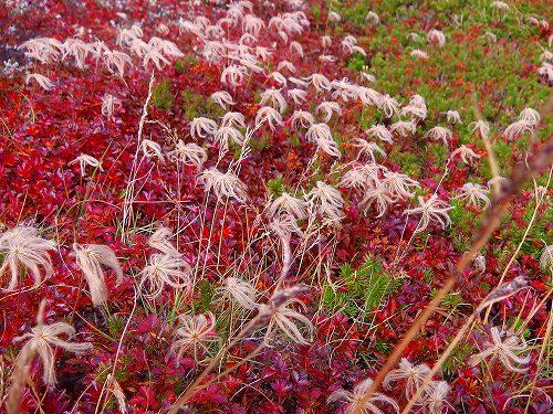 IMGA0260花が終わったあとのチングルマ・白雲岳途中