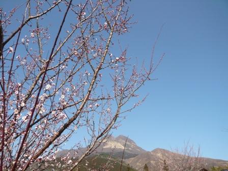 梅と由布岳