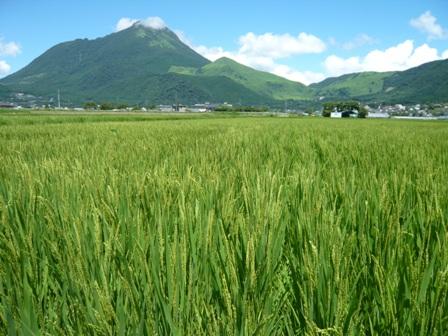 稲が実ってきた