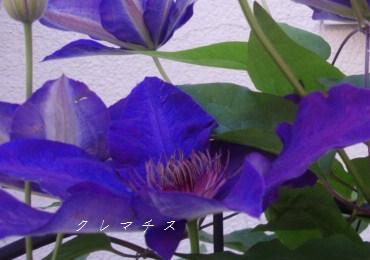 5月13日庭の花3