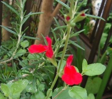 5月13日庭の花4