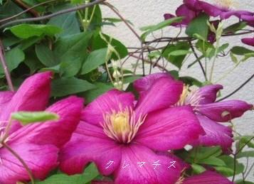 5月13日庭の花2