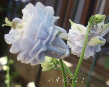 5月13日庭の花1