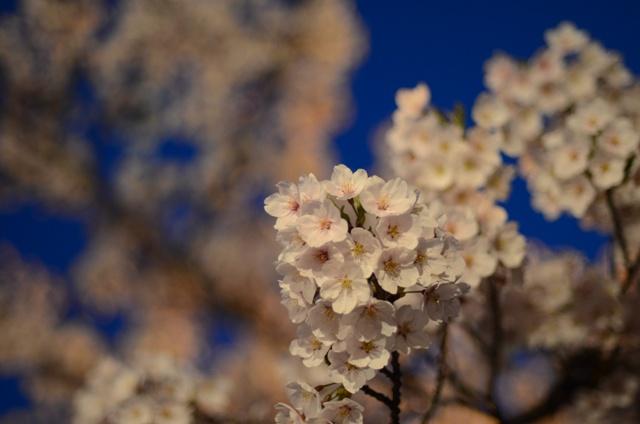 夜桜近距離DSC_1856
