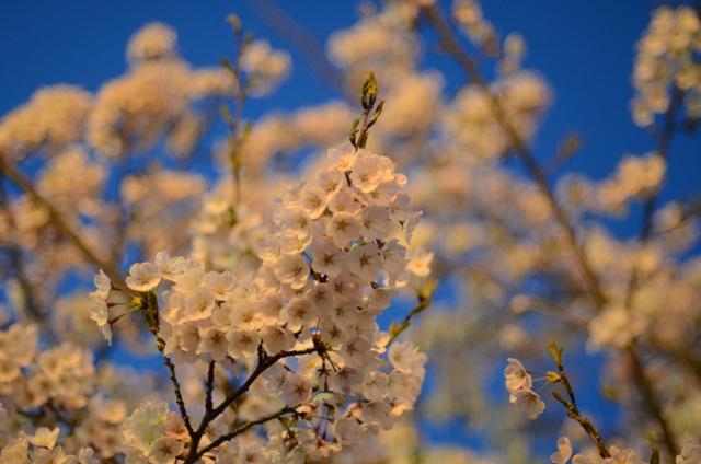 夜桜近距離DSC_1862