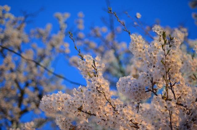 夜桜近距離DSC_1851