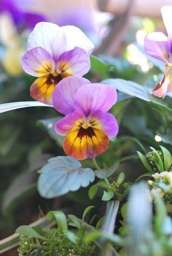 ビオラとアリッサムの寄せ植え20120126