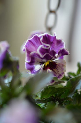 フリル咲きビオラ ミルフル20120218_04