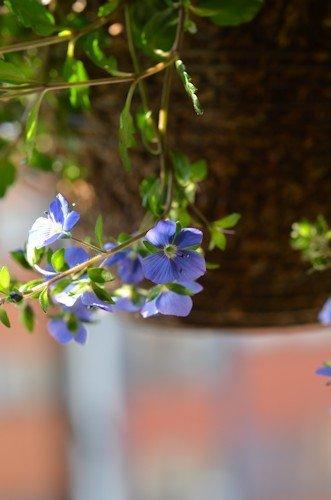 ベロニカ オックスフォードブルー20120328