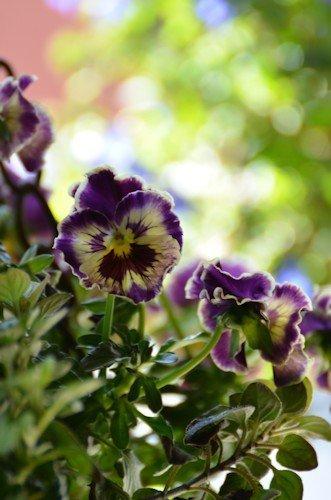 フリル咲きビオラ ミルフル20120329