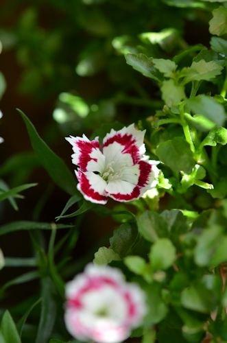 わい性ナデシコ オリビア ホワイトアイ20120516