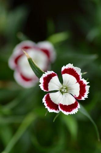 わい性ナデシコ オリビア ホワイトアイ20120531