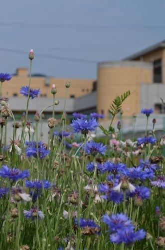 高尾山20120626_ヤグルマギク5