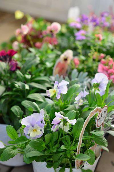 春の花苗20121030