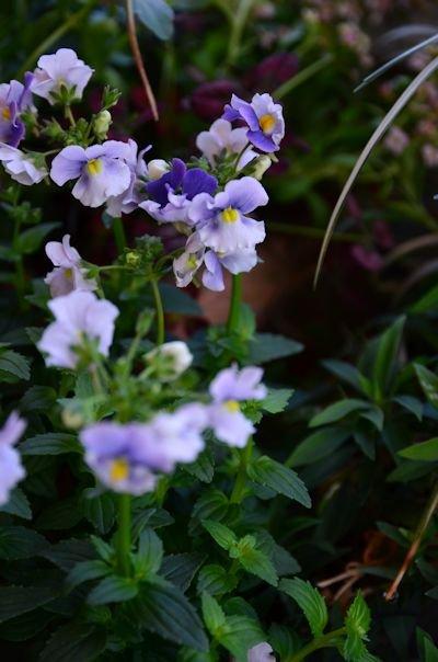 ネメシア メロウ フリルグレープの寄せ植え20121103
