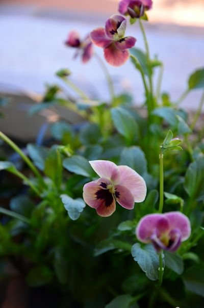 ビオラ ピンクのコアラの寄せ植え20121103