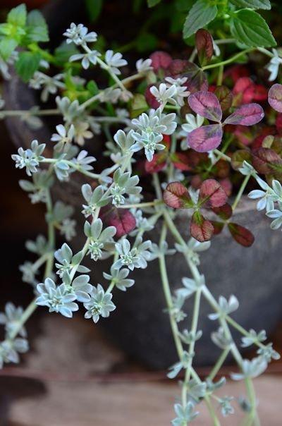 ネメシア メロウ フリルグレープの寄せ植え20121103_02
