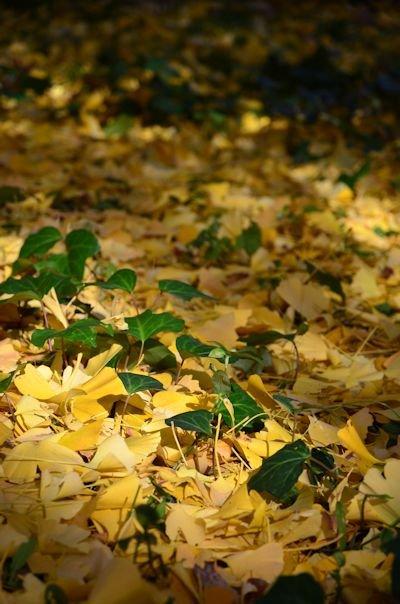 外苑の銀杏並木20121205_02