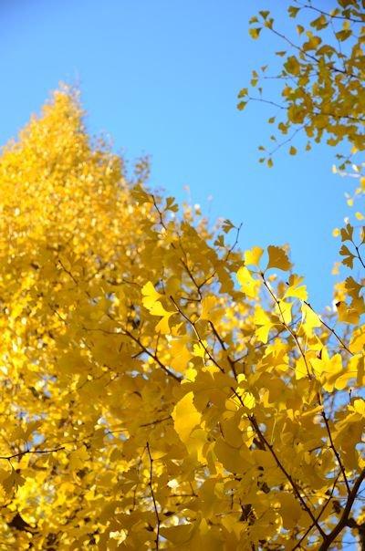外苑の銀杏並木20121205