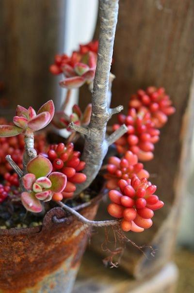 錦晃星と虹の玉の寄せ植え20121213