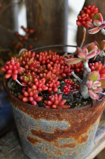 錦晃星と虹の玉の寄せ植え20121213_02