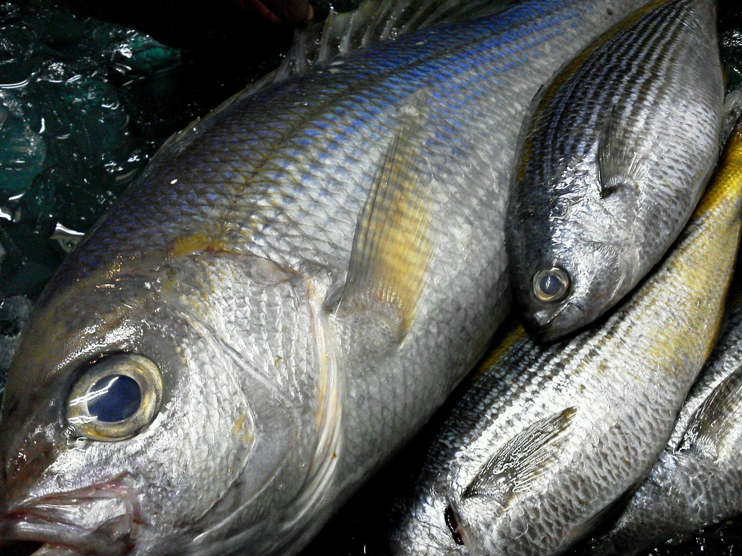 青鯛とたかべ