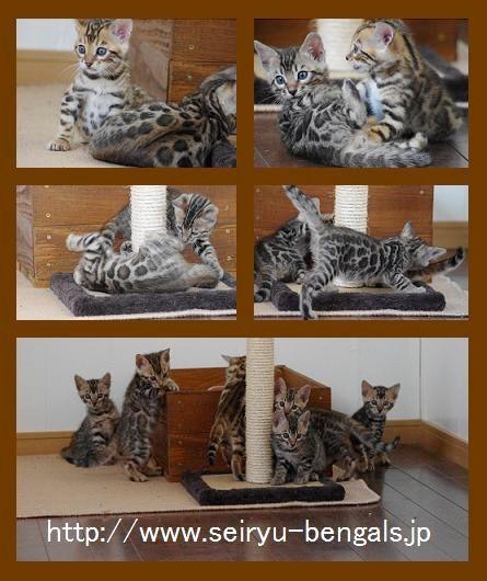 2012子猫シャープ&サクラ