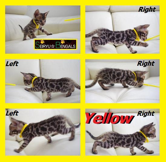2012 Kitten イエローちゃん!