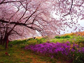 桜菜花花大根