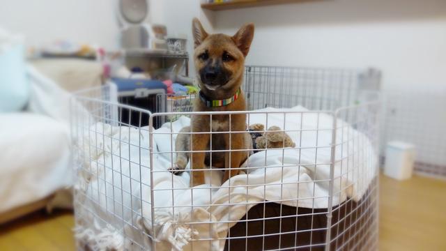 20101005_001_柴犬ちくわとビーズクッション