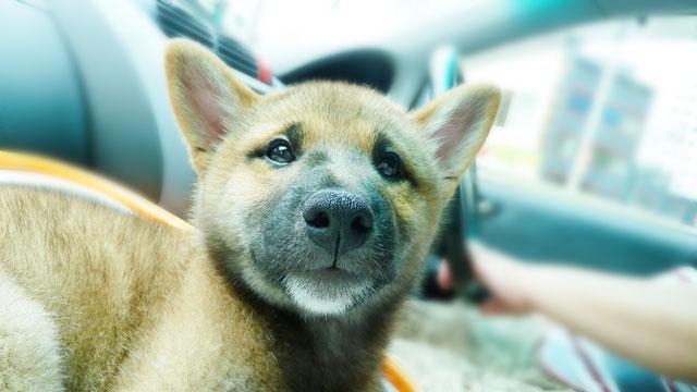 20100915_571_柴犬ちくわ二回目のワクチン接種