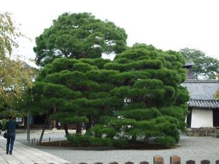 醍醐寺三宝院-松