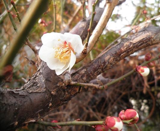 庭の梅開花