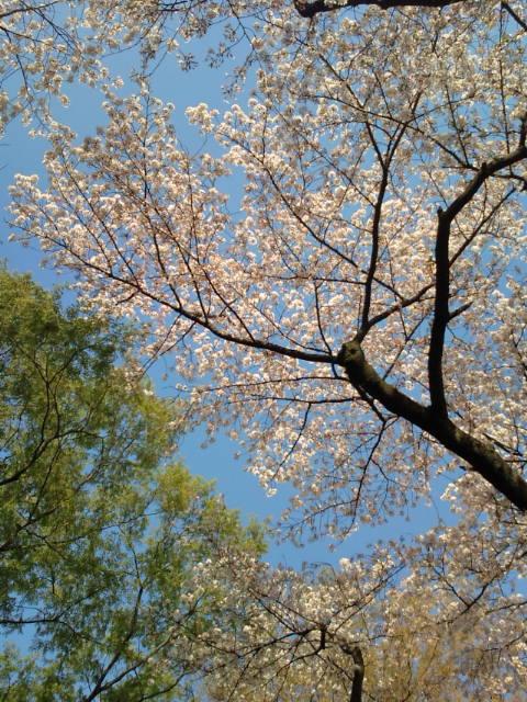 井の頭搬入の桜 008