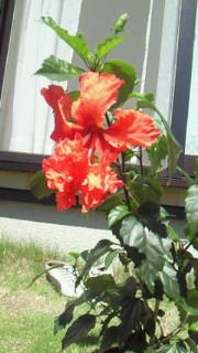 ハイビスカス2010