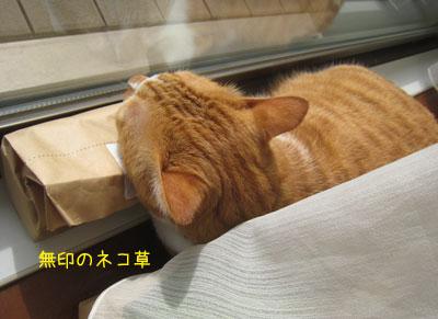 ネコ草マクラ